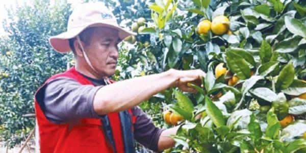 Selain Teh dan Kopi, Pagaralam juga Tawarkan Agrowisata Jeruk Gergah