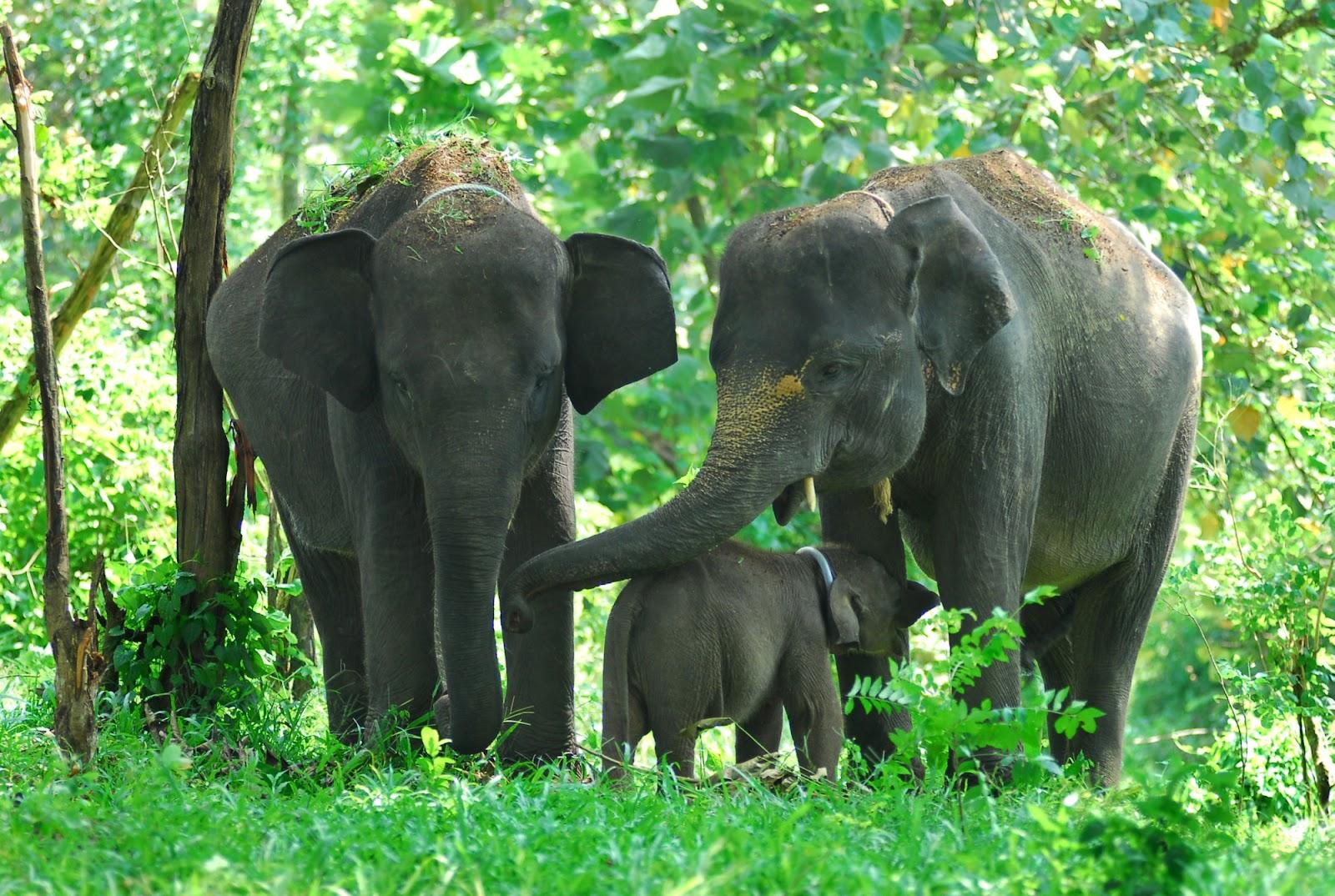 Melacak Gajah di Sumatera Selatan, Seperti Apa Kondisinya?